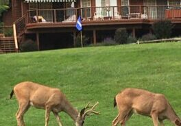 Deer are often grazing at various locations on the Lake Almanor Country Club golf course.