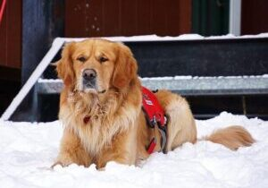 Operating alongside Sierra-at-Tahoe Ski Patrol, the Sierra Avalanche Dogs dogs are valued team members who play an important role.